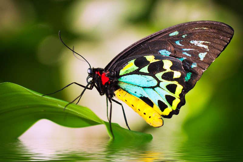 Photo source: australianbutterflies.com